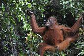 Juvenile Orangutan .pongo Pygmaeus