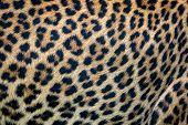 Close Up Leopard Fur Background. Ceylon Leopard Skin Texture For Background. poster