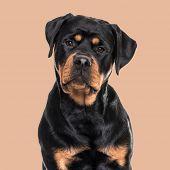 Rottweiler dog sitting against brown background poster