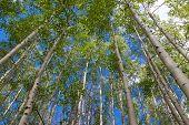 Aspen Grove Against Blue Sky