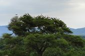 Storks On Top Of A Tree