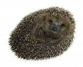 Hedgehog enrolado no branco traseiro