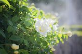 Big Bush With White Roses And Drops Of Water In The Air. Blooming White Dog-rose Flowers On The Bush poster