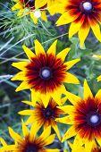 Orange Flowers Rudbeckia Hirta Grows In Summer Garden, Top View. Common Names: Black- Eyed-susan, Br poster