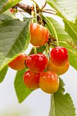 Cherry Tree With Ripe Cherries In The Garden. After The Rain. Healthy Food. Ripe Cherries Hanging On poster