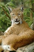 Frühgeschichtlichen Lynx