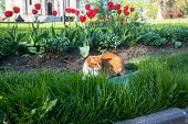 A Lazy Red Cat, Relaxing In A Flower Bed Between Bright Blooming Tulips. poster