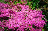 Field Of Bright Pink Rhododendrons Blooming, Rhododendron Flowers . poster