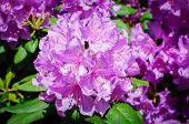 Pink Rhododendrons Blooming, Rhododendron Flowers Close Up. poster