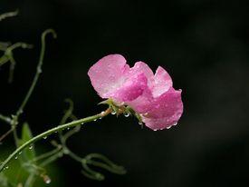 image of sweet pea  - Pink sweet pea against black background - JPG