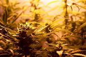 Growing Medical Marijuana Indoors Under Artificial Light Lamps. Indoor Cannabis Buds Cultivation. poster