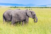 The famous Masai Mara Reserve in Kenya. Afrika. Pair of steppe elephants. Elephants are the largest  poster