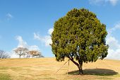 Lonely Tree At Olympic Park, Seoul With Yellow Grass Field And Blue Sky Background poster