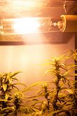 Growing Medical Marijuana Buds Under Artificial Lighting In A Grow Box. Yellow Spectrum Lamp For Can poster