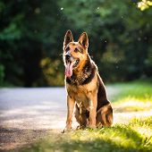 stock photo of alsatian  - Beautiful German Shepherd Dog  - JPG