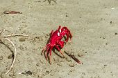 Christmas Island Red Crab (gecarcoidea Natalis), A Brachyura Land Crab Or Red Crazy Ant Shellfish Ge poster