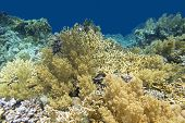 Colorful Coral Reef At The Bottom Of Tropical Sea, Yellow Fire Coral Broccoli Coral, Underwater Land poster