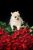 Valentines Day Puppy On A Red Rose. In Love On Valentines Day. Portrait Of Puppy Terrier Dog Lying O poster