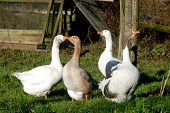 Gaggle Of White Geese On Th Efarm In Winter Sunlight