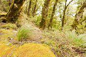 Virgin mountain rainforest of Marlborough, NZ