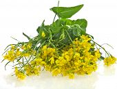 Flower of a rapeseed, Rape blossoms ,Canola or Oilseed Rapeseed, isolated  on white background