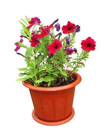 foto of flower pot  - Nice flowers growing in a red pot isolated over white background - JPG