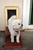 stock photo of bichon frise dog  - A Bichon Frise dog Smiles as she goes through her Dog Door - JPG