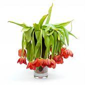 Vase Of Dead Tulips