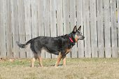 pic of cattle dog  - Australian Cattle Dog  - JPG