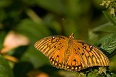 Gulf Fritillary Butterfly sitting on a leaf