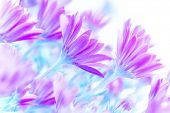 Fresh purple daisy flowers field, art work, gentle floral background, spring time blooming in sunny day