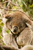 stock photo of koala  - A koala sleeps atop a tree in the coastal bushlands between Apollo Bay and Lorne in VIctoria - JPG