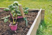 Strawberries Plants