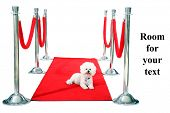 Jolie a Pure Breed Bichon Frise dog, relaxes on her HOLLYWOOD RED CARPET while she awaits on her Pap