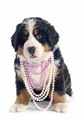 Bernese Moutain Dog Puppy