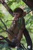 Rhesus macaque eating leaves