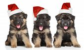 stock photo of shepherds  - German shepherd puppies in red Santa hat on white background - JPG