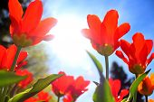 Abstract image of tulips at very low angle