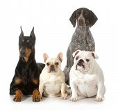 four different purebred dogs looking at viewer isolated on white background - doberman pinscher, fre