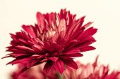 pic of chrysanthemum  - Close up photo of red chrysanthemum flower - JPG
