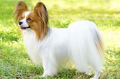 image of epagneul  - A small white and red papillon dog  - JPG