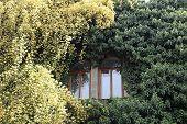 Rosa Banksiae Around The Window