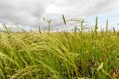 picture of ethiopia  - Beautiful Eragrostis tef field native to the northern Ethiopian highlands in a typical rural farmland of Ethiopia - JPG