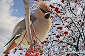 A Bright bird Waxwing on a Rowan branch with the red berries.