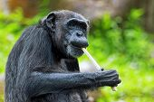 stock photo of omnivore  - Portrait of a Common Chimpanzee in the wild - JPG