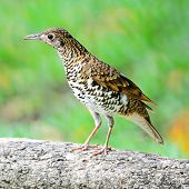 picture of brown thrush  - Beautiful black - JPG