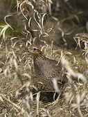 image of quail  - A female Bobwhite Quail in tall grass - JPG