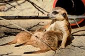 Suricate And Cubs