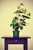 a flamingo lily plant on a table with a retro effect