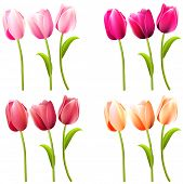 stock photo of yellow buds  - Some realistic tulips on white - JPG